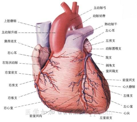 著博士 心及心包检查  - 著博士--动物疫病防控专家 - 中国(驰骋)动物保健品贸易行