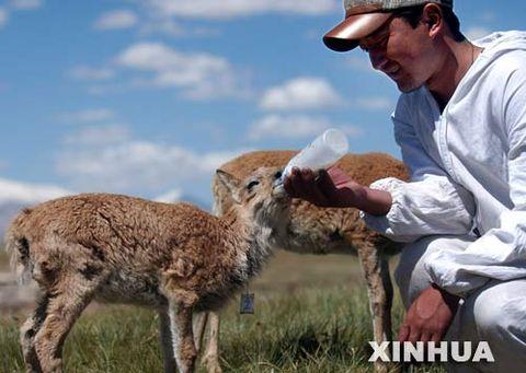 藏羚羊跪拜  [精华转载] - 烦人精 - 讲述来自青藏高原的故事