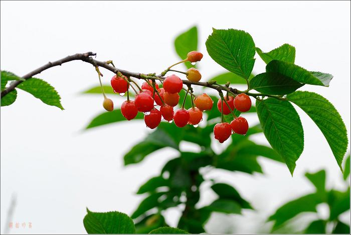 雨后的小樱桃 - 天边月 - 天边月 的博客