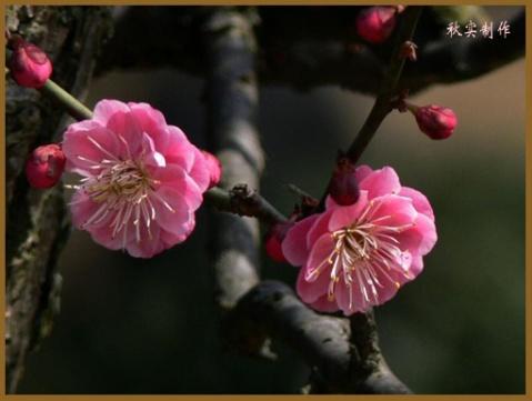 音画欣赏-梅花(一) 素材/秋实 编制/雪劲松 - 雪劲松 - 雪劲松的博客