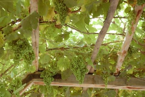 伯西热克石榴园,葡萄园