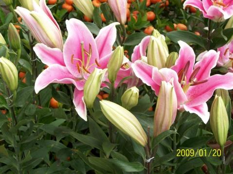 新春花市 - hhj62429 - 绿韵的博客