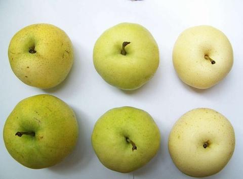 套袋对大棚梨果实品质的影响 - 清扬 - 花果飘香