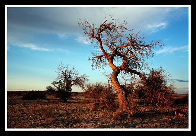 美丽的北疆(5)——胡杨林 - 人走茶凉 - 人走茶凉的博客
