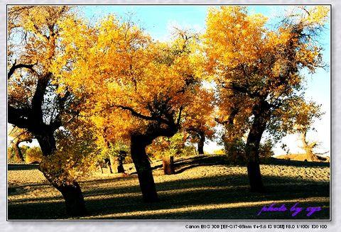 秘境西域07二道桥胡杨林《凭阑人》 - 自由诗 - 人文历史自然 诗词曲赋杂谈