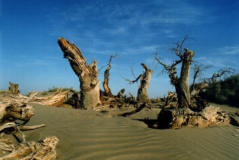 新疆独有的胡杨树具有,一千年不死,  - 天山骑兵 - 天山骑兵博客