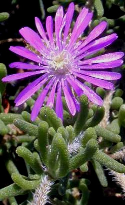 茎秆番杏nbsp;Drosanthemum  - 落霞·孤骛 - 落霞·孤骛的博客