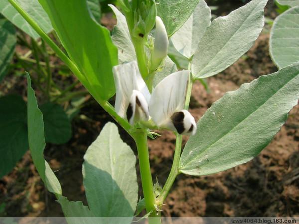 蔬菜的花儿也美丽(二) - 农夫老黑 - 农夫老黑