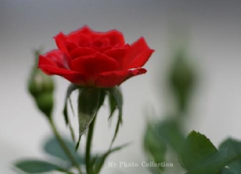 秋天的玫瑰
