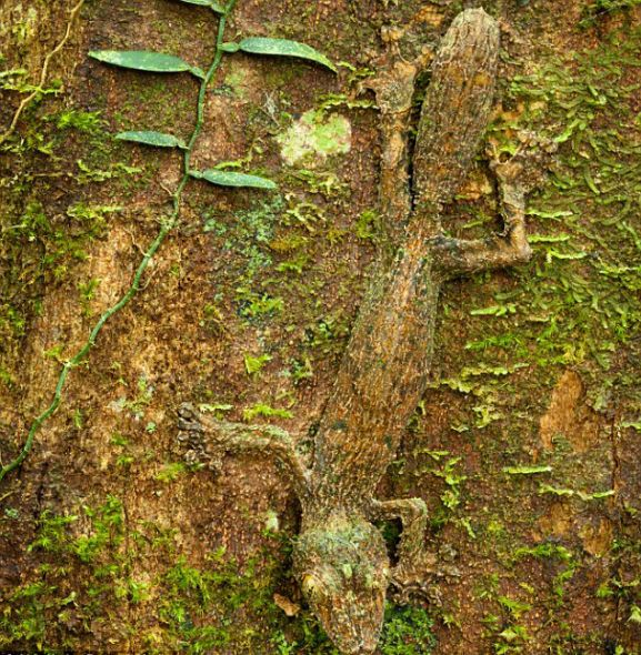 在马达加斯加岛东北部的马索亚拉半岛国家公园,一只叶尾壁虎趴在长满青苔的树干上