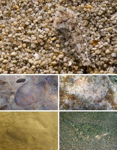 自然界七大变色大师:章鱼随环境改变形状(图)