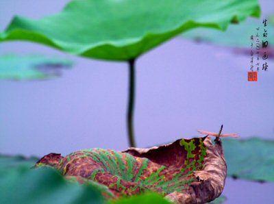 [原创]五绝·题残荷蜻蜓照(四首) - 唐显辉 - 盆藕斋