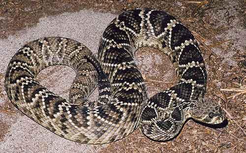 北美最长最毒的东部菱斑响尾蛇