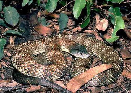 引用 世界上巨毒蛇类大观园--怕蛇者慎进!! - 飘叶 - 飘  叶  的  博  客