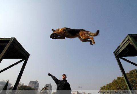 军中无言的战友∕神‐‐军犬!