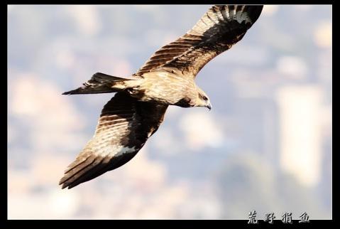 尼国行散记之 加德满都上空的鹰 - 荒野狷鱼 -      荒野狷鱼的博客