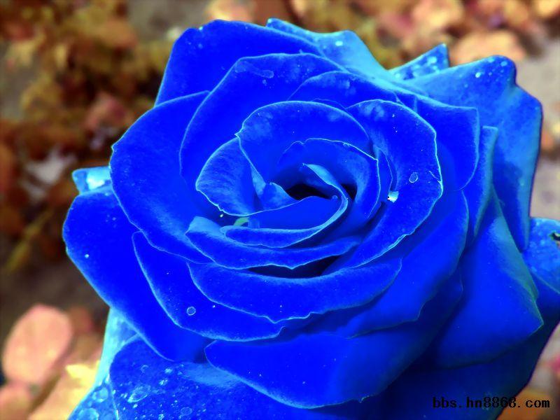 无数次,我将它视为玫瑰!   月季,别名长春花、月月红、四季