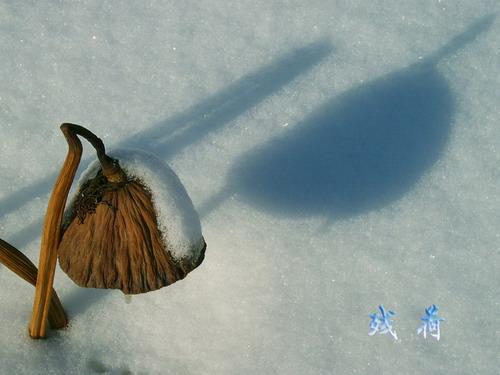 五律  冬日残荷 - 和静 - 心结和静