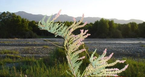 回故乡(疏勒河的红柳) - 疏勒河的红柳 - 疏勒河的红柳