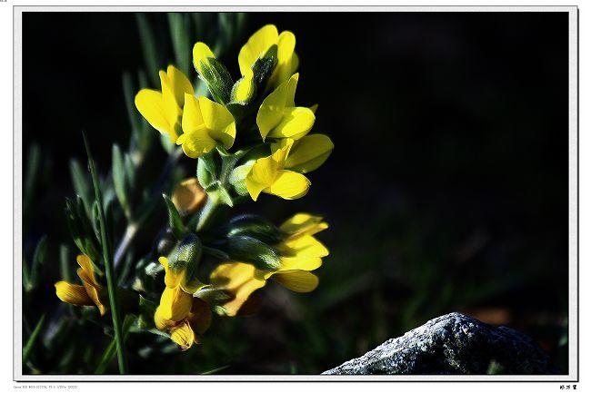 【原创摄影】草原花卉 - 玉树牧羊人 - 玉树牧羊人的博客