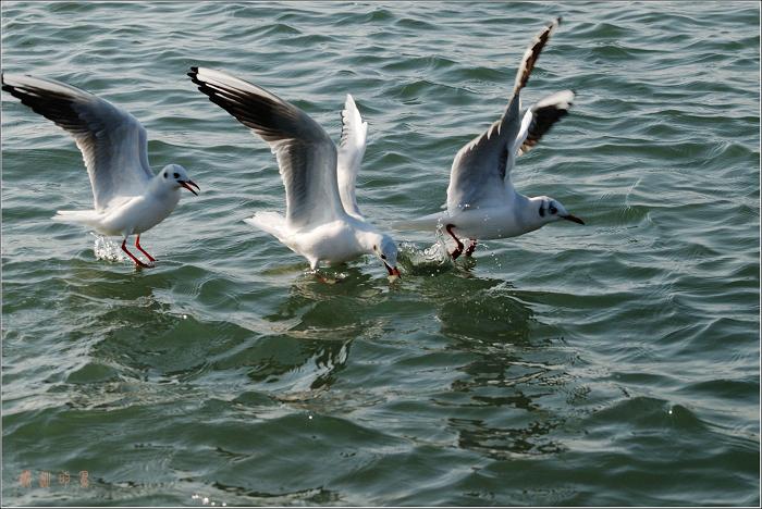 [原创]鸟影07海鸥——取食瞬间 - 迁徙的鸟 - 迁徙鸟儿的湿地