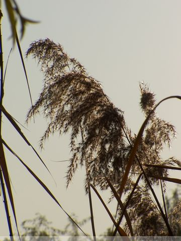 侧逆光大光圈高快门---芦影 - 随风而去 - 大静则成虚 虚无则成静 化大静而成大美