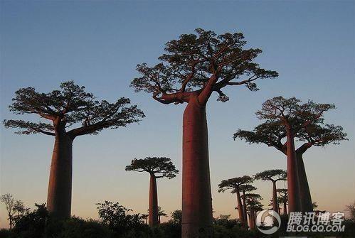 ...动物们的食物来源而且还是世界上最粗的药用树.   猴面包树...