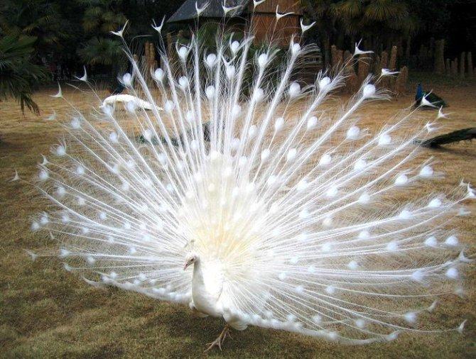 真是太美了!据说,看到白孔雀会走运哦 - 花开有声 - 花开有声