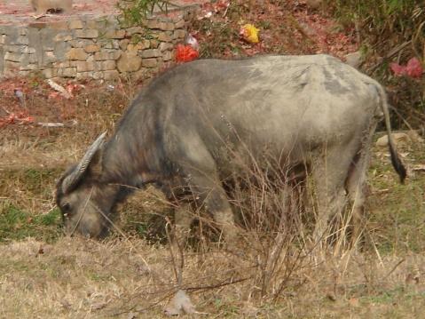 一条水牛走过 - 度秋 - 度秋的博客