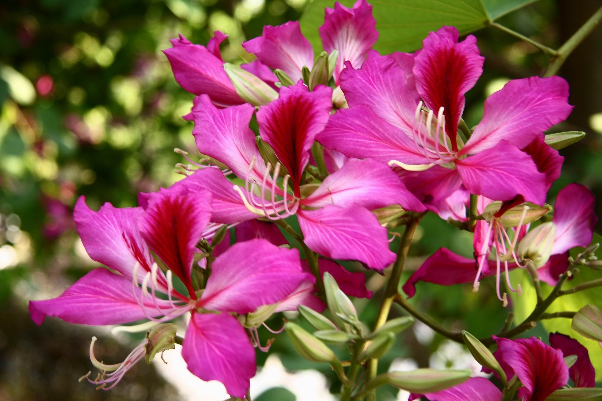 《百花图题诗》之六十  咏紫荆花(原创诗词) - 地平线 - 地平线的博客