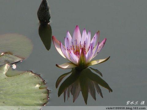 [莲的故事之一]  心如水莲 - 紫冰兰 - 莲心苑。紫冰兰