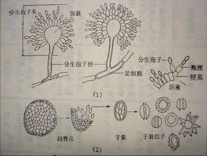 【转帖】常见曲霉菌鉴定 - hampc168 - hampc168