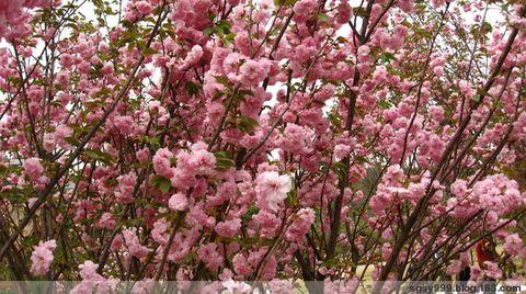 【心搏原创】《百花吟系列》七律(平水韵)百花园之2——樱花 - 心博 - 心 博 园