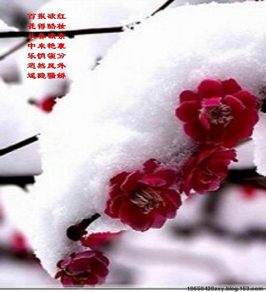 红梅映雪(二)(文原创) - 19650420zxy - 享受阳光