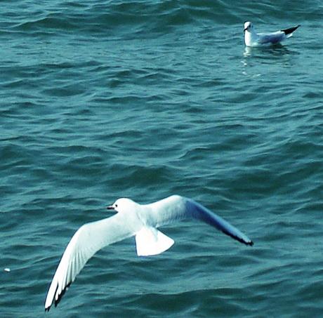 [原创]海鸥(图片) - 古川 - 古川的博客