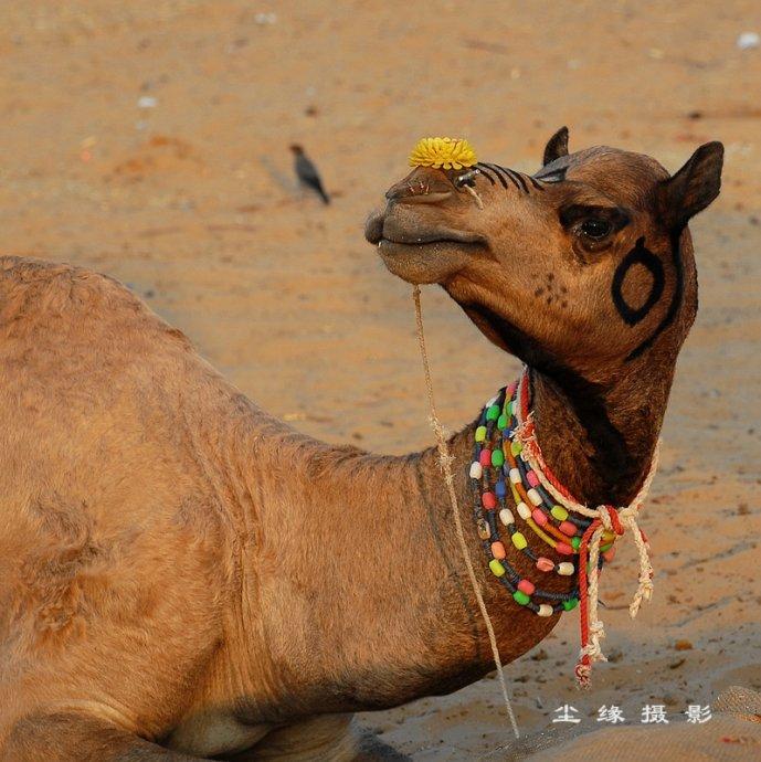 印度骆驼节盛况 - Y哥。尘缘 - 心的漂泊