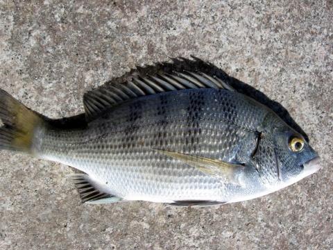 数万条白条鱼幼鱼聚集风