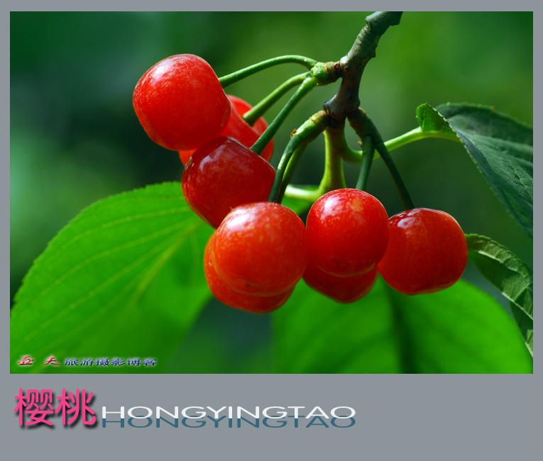 (原摄)樱桃 - 高山长风 - 亚夫旅游摄影博客