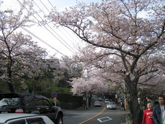 樱花飘舞的季节-伊豆半岛一泊两日春之旅行