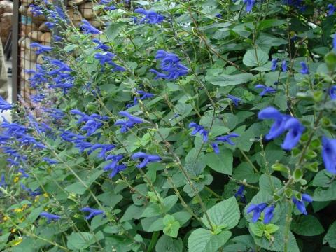 药用的蓝花鼠尾草