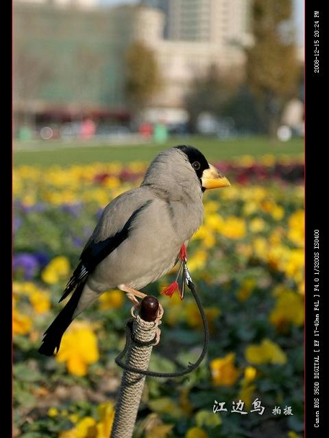 [原创摄影] 可爱的小姑娘和蜡嘴 - 江边鸟 - 江边鸟的博客