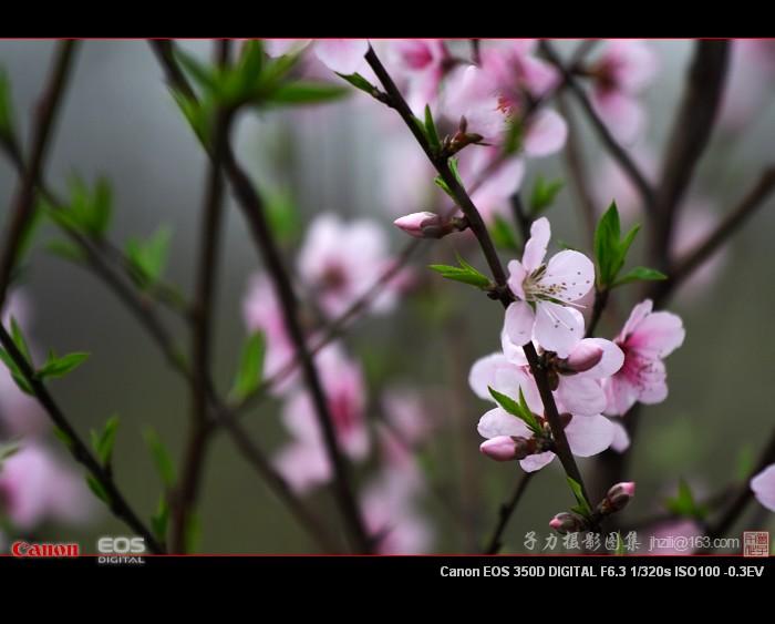 [原创] 桃李花开(2) - 子力 - 子力摄影图集
