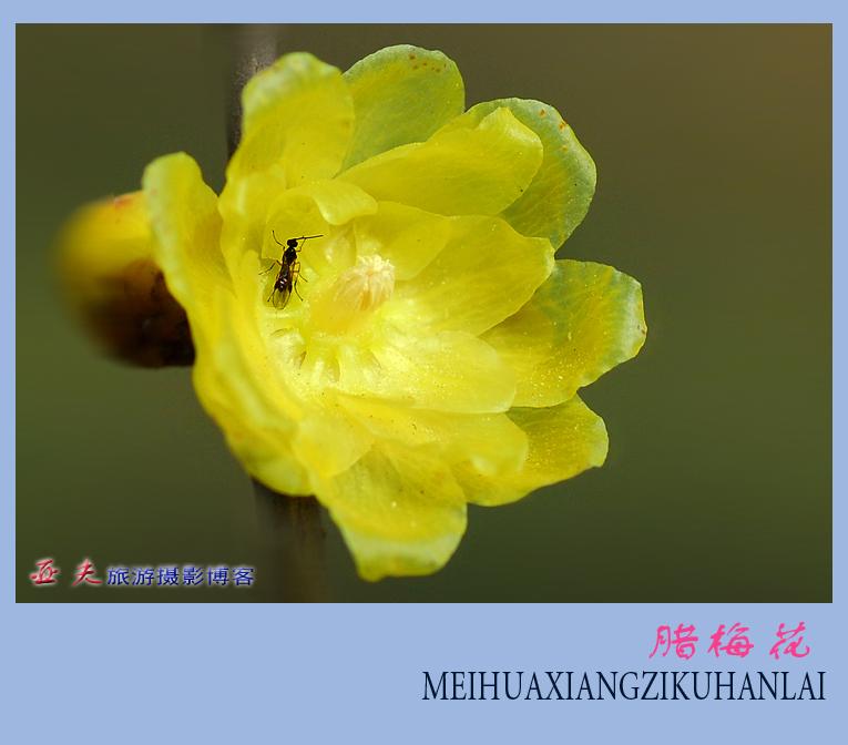 (原创)腊梅飘香 - 高山长风 - 亚夫旅游摄影博客
