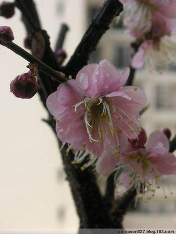 梅花 - 木头人 - sampson827的博客