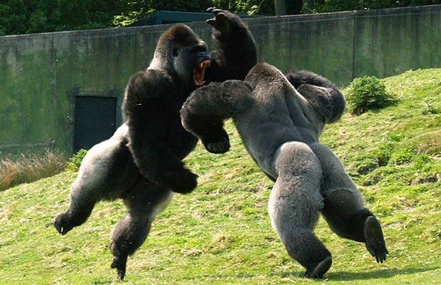 """大猩猩也是""""肉食者""""? - 新知周刊 - 《新京报·新知周刊》"""