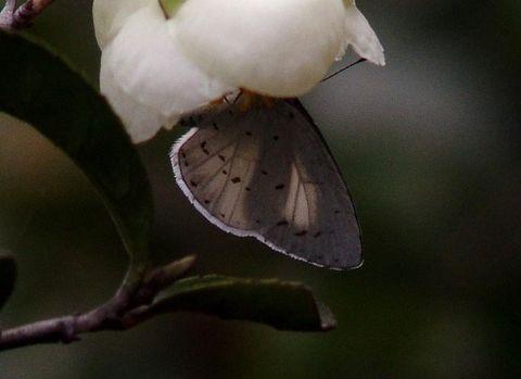 [原创摄影]白斑妩灰蝶 - 飞飞 - 蝴蝶飞飞