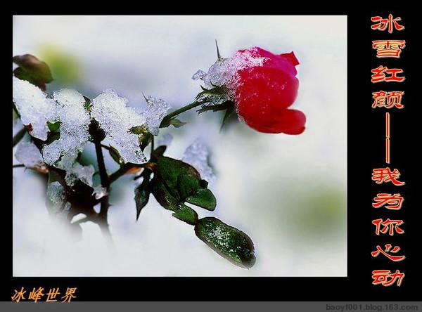 [原创】冰雪红颜——我为你心动! - 冰峰 - 冰峰的博客