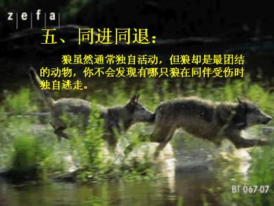 狼的十大处世哲学 - 悠然 - 天然居