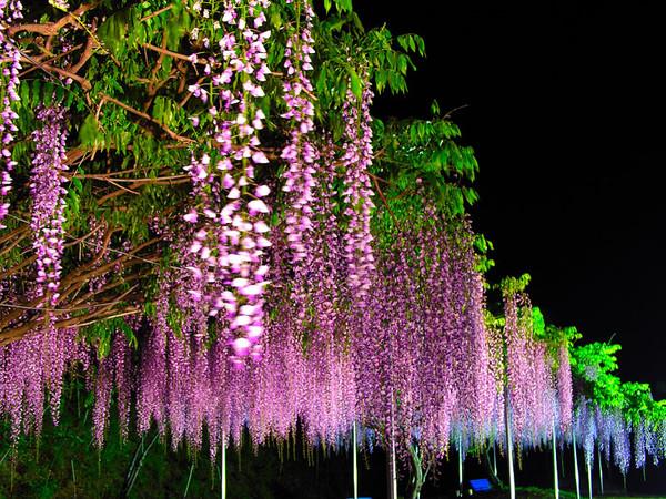 紫滕花 花缠绕的神情 - 从容 - 从容