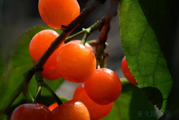 (原摄)红 樱 桃 - 高山长风 - 亚夫旅游摄影博客